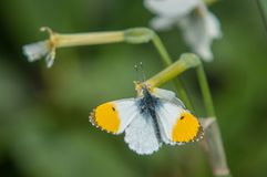 Orange Tip Butterfly Hanging on Stalk stock photos