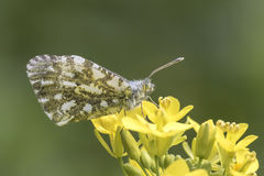 Orange tip butterfly Royalty Free Stock Photo