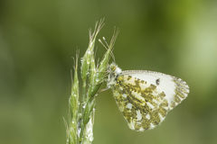 Orange tip butterfly Royalty Free Stock Image