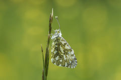Orange tip butterfly Stock Photos