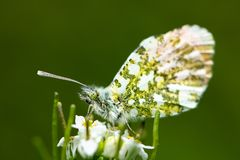 An Orange Tip butterfly sitting on a flower. An Orange Tip butterfly Anthocharis cardamines sitting on a flower stock photo
