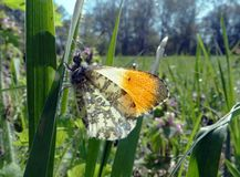 Orange tip butterfly. butterfly on a sunny meadow. spring butterflies. bright transparent wings. Orange tip butterfly. butterfly on a sunny meadow. spring stock photo