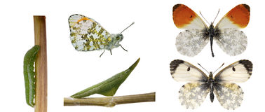 The orange tip, life cycle. The orange tip, (Anthocharis cardamines) life cycle showing caterpillar, chrysalis upper and underside and male and female butterlies stock photo