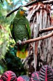 Orange Tipped African Parrot Stock Images