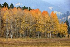 Orange Tipped Splendor, Aspen Trees In Fall, Colorado, USA stock photography