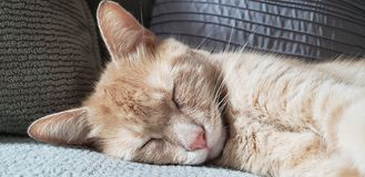 Orange Tired Tabby Cat stock photo
