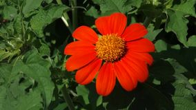 Orange Tithonia stock video