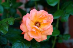 Orange to yellow fully open blooming rose with petals starting to wither surrounded with dark green leaves royalty free stock images