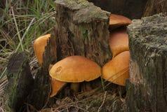 Orange toadstools Royalty Free Stock Photos