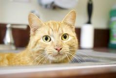 Orange Tom Cat nederlag i diskho Arkivbild