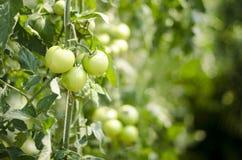 Orange Tomato Royalty Free Stock Images