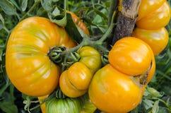 Orange tomatoes Stock Image