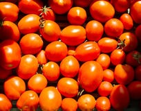 Orange tomatoes. Many orange tomatoes with green stems. Home grown without pesticides stock image