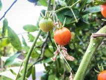 Orange tomatoes on the tree stock image