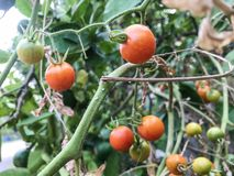 Orange tomatoes on the tree royalty free stock photography