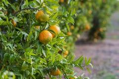 Orange träd arkivbilder