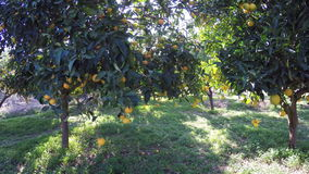 Orange träd lager videofilmer