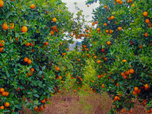 Orange träd arbeta i trädgården mycket av apelsiner Royaltyfri Foto