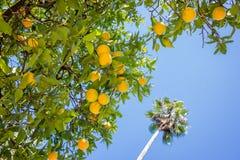 Orange träd, blå himmel och palmträd royaltyfria foton