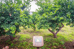 Orange träd för tangerin i lantgård Royaltyfria Bilder