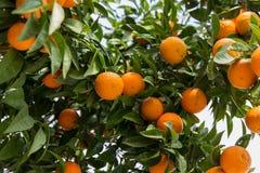 Orange träd i Antalya Fotografering för Bildbyråer