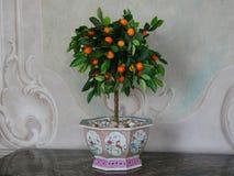 Orange träd i en kruka Arkivfoto
