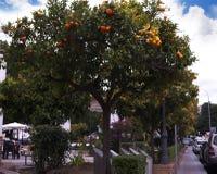 Orange träd i Nerja, en sömnig spansk feriesemesterort på Costa Del Sol nära Malaga, Andalucia, Spanien, Europa Royaltyfri Fotografi