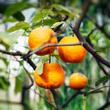Orange träd i sommar Arkivfoton