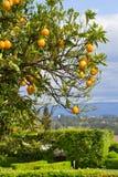 Orange träd med apelsiner Royaltyfri Bild