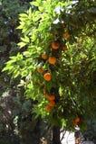 Orange träd med apelsiner i Alhambra Granada, Spanien fotografering för bildbyråer