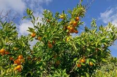 Orange träd med frukter Arkivfoto