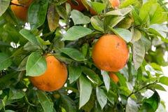 Orange träd med frukter i sommar royaltyfria foton