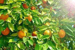 Orange träd med mogen orange frukt En stor skörd i säsongcitruns En fortlöpande cirkulering av mognad, bra skörd, vitaminer arkivbilder