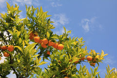 Orange träd med mogna frukter Arkivbild