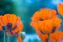 Orange trädgårds- vallmo Härliga vallmo utomhus Selektivt fokusera fotografering för bildbyråer