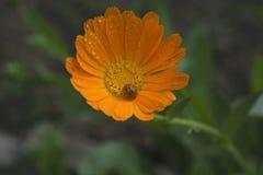 Orange Träume des Marienkäfers Stockbild