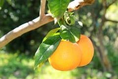 Orange träd Fotografering för Bildbyråer