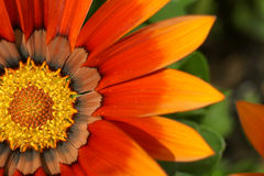 Orange treasure flower Stock Images