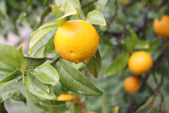 Orange tree. With fruit  after a rain Royalty Free Stock Photos