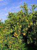 Orange tree. Isolated orange tree on a sunny day Stock Image