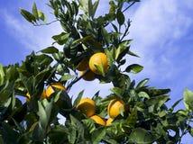 Orange tree. Isolated orange tree on a sunny day Royalty Free Stock Photography