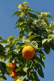 orange tree Arkivbild