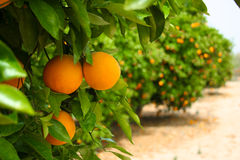 Free Orange Tree Stock Image - 13716381