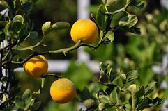 Orange tree. This is a detail picture of an orange tree, focusing on a branch with three oranges Stock Photo