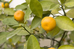 Orange tree. Orange is ripe on tree in autumn Stock Photo