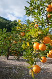 Orange tree. Loaded with fresh fruit ready to pick Stock Photos