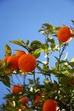 Orange tree. Some juicy oranges on a branch of orange tree Stock Photography