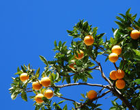Orange tree. Branch of orange tree and very bue sky Stock Photography