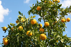 Orange Tree. Oranges ripening on the tree in bright sunlight, NSW, Australia Stock Images