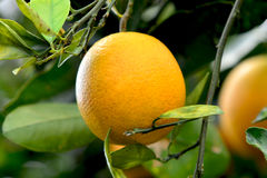 Orange on Tree 2. A fresh ripe Valencia orange hangs on the tree in Florida stock photo